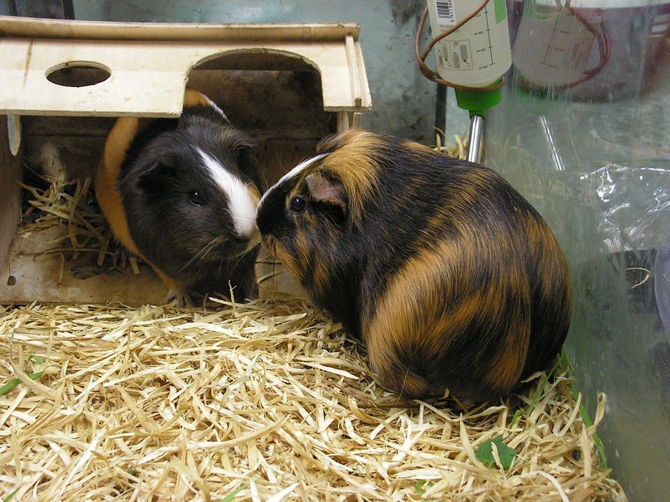 adopt a guinea pig