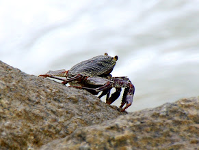 Photo: Year 2 Day 19 -  Crab on the Rocks