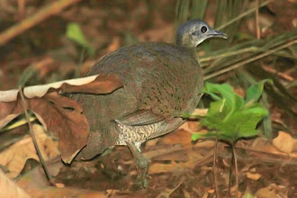 Photo: Great Tinamou