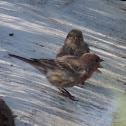 House Finch     pair