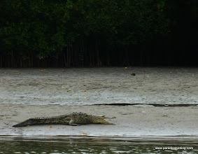 Photo: American Crocodile; La Tovara boat ride