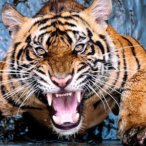 tiger scream by Robert Cinega - Animals Lions, Tigers & Big Cats ( staff favorites, tiger, fantastic wildlife,  )