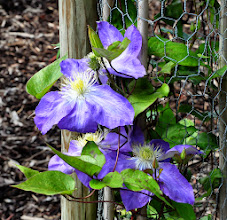 Photo: Clematis 'Diane'