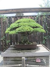 Photo: 400 éves bonsai