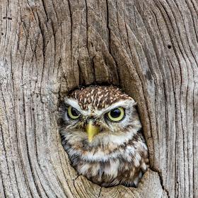 Little_Owl_14.jpg