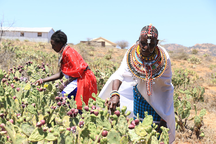 Margaret Mamai and other women infect opuntia cactus with cochineal insects, which can kill the plant.