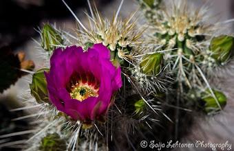 Photo: Good Saturday morning!  saija-lehtonen.artistwebsites.com  #cactusflower  #cactus  #flowerphotography  #flowerscolor  #floralphotography  #floraltoday  #southwest