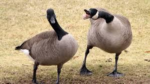 Canada geese used to feed D.C. homeless | CBC News