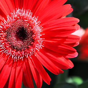 Red Gerbera by Emily Vickers - Nature Up Close Flowers - 2011-2013 ( red, nature, daisy, gerbera, flower, gerber )