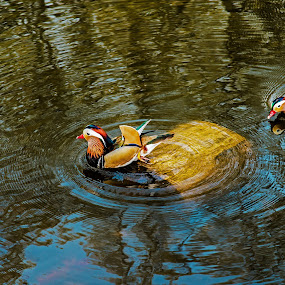 Follow me by FIWAT Photography - Animals Birds ( ducks, lake )