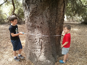 Photo: Clark and Finn measure and learn the oak is about 282 years old!