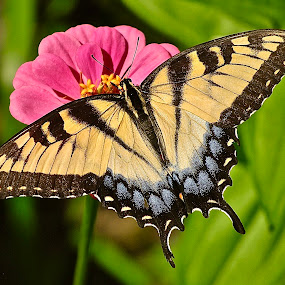 Summer Swallow Tail Butterfly by Doug Wean - Animals Insects & Spiders ( nature, nature photo, butterfly, wings, single flower, nature up close, insect, flower garden, zinnia, swallowtail,  )