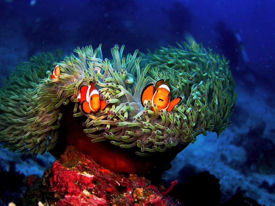 We Are Family by Penn De Los Santos - Animals Sea Creatures ( underwater, fish, scuba diving, marine life, nemo, diving )