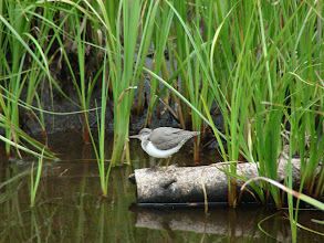 Photo: Spotted Sandpiper at Long Swamp National Forest Campground