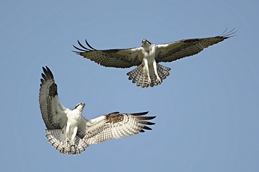Osprey pair by Larry Peeler - Uncategorized All Uncategorized ( bird, nature, wildlife, mate's, osprey )