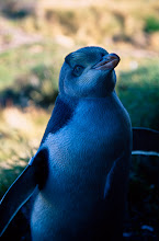 Photo: Yellow-eyed Penguin
