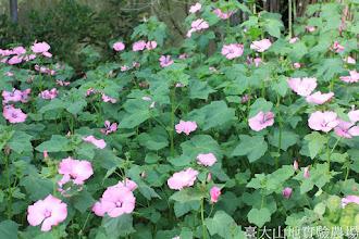 Photo: 拍攝地點: 梅峰-溫帶花卉區 拍攝植物: 花葵 拍攝日期: 2015_06_09_FY