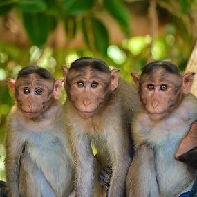 Curiosity  by Vijayanand Kandasamy - Animals Other Mammals ( wild, animals, monkeys, close up, monkey,  )