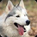 Husky Siberian Live Wallpaper icon