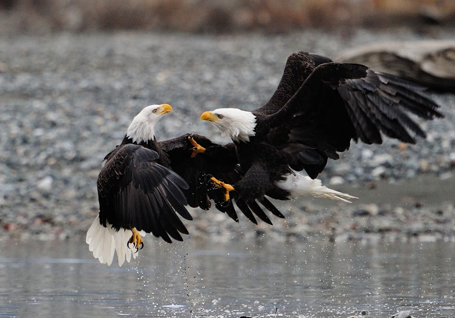 by Arjay Hill - Animals Birds ( bald eagles fighting )