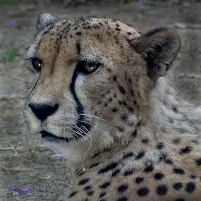 Cheetah Portrait by Nancy Tubb - Animals Lions, Tigers & Big Cats ( big cat, cheetah, big cats, wildlife, feline )