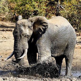Ellie bath time by Sheila Grobbelaar - Animals Other Mammals ( elephants, latestkruger, krugerthroughmyeyes, conservation, wildlife, krugerpark, wildplanetcover )