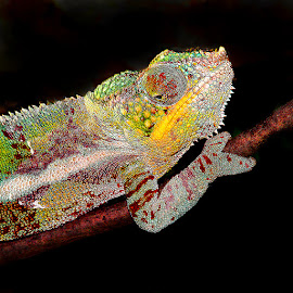 Cam by Gérard CHATENET - Animals Reptiles