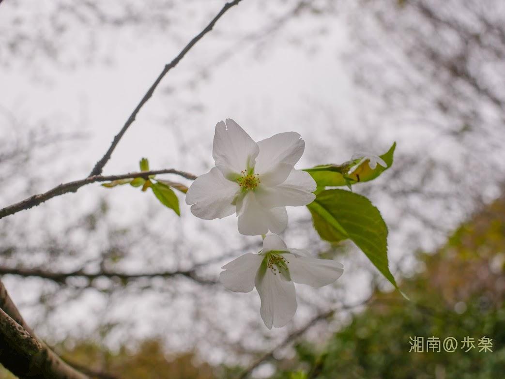 散歩2020 自粛の狭間の大島桜