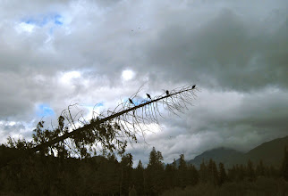 Photo: Buzzards over the Coquihalla during the salmon spawning season