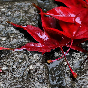 Colour and Darkness  by Ellason Boyle - Nature Up Close Leaves & Grasses ( colour, water, red, fall, stones, leaves, darkness, droplets )