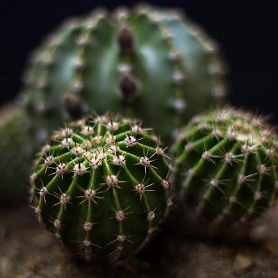 Cactus di Pesciulina