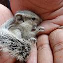 Northern Palm Squirrel (with drey)