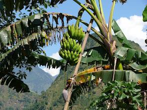 Photo: Het klimaat is hier op deze hoogte nog (sub)tropisch, zodat de bananen nog zonder gevaar voor bevriezing aan de bomen kunnen groeien.