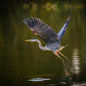 Launch by Bill Killillay - Animals Birds ( takeoff, rising, soft light, sunrise, pond, heron, early )
