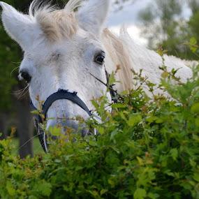 Hide and seek by Els He - Animals Horses ( horse, outside, portrait, funny animal, funny, hide and seek,  )