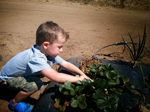 Photo: Finn Picks Strawberries