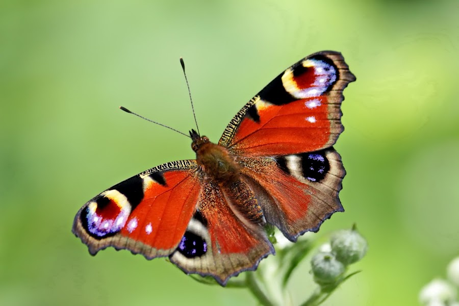 Peacock butterfly by Valentin Marinov - Animals Insects & Spiders ( nymphalis io,  )
