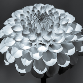 by Keith Sutherland - Black & White Flowers & Plants