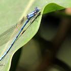 Libélula azul  - Blue damselfly