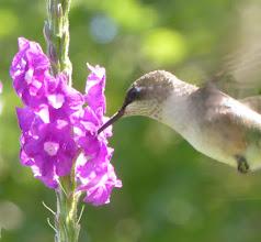 Photo: Lavender Porterweed