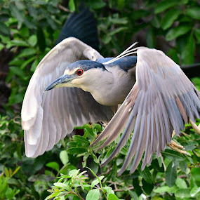 Black-crowned night heron by Ruth Overmyer - Animals Birds (  )