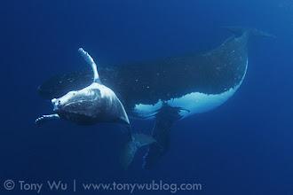 Photo: Taha (humpack whale calf #1 of the 2011 season) and mother