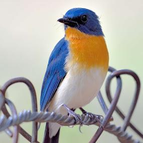Tickells Blue Flycatcher by Vijay Singh Chandel - Animals Birds ( nature, wildlife, forest, birds, bird photography,  )