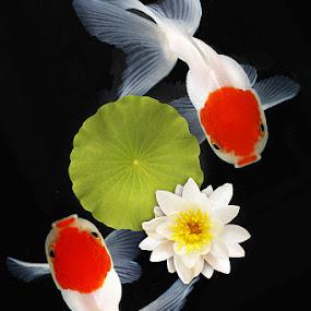 LOVE DUET by Lessy Sebastian - Animals Fish ( love, water, red, fish, duet, couple, flower, goldfish )