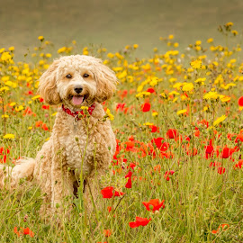 Poppy in the poppies by Tony Walker - Animals - Dogs Playing ( play, red, flowers, outdoors, puppy, yellow, cockapoo, poppies, portrait, dog )