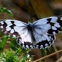 Iberian Marbled White, medioluto ibérica
