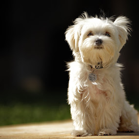 Bob J by Felipe Mairowski - Animals - Dogs Portraits ( cão, white dog, cachorro, retrato, perro, cute, dog, posing, portrait )