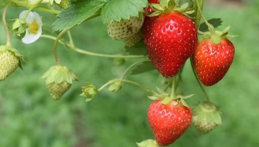 06/05/20 fraises Paniers de Béatrice Vallée de l'Eyrieux Au tournesol boutique bio