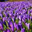 Vijolčasta preproga by Bojan Kolman - Flowers Flowers in the Wild (  )