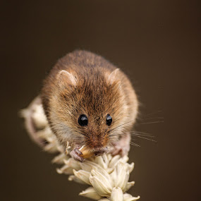Nibbles by Garry Chisholm - Animals Other Mammals ( mice, garry chisholm, mouse, nature, wildlife, harvest, rodent,  )